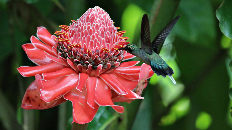 ...to a spectacular Etlingera ginger in Trinidad for this Green Hermit from participant Rick Woodruff...