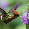 ...to a vervain for this Tufted Coquette, also by Rick Woodruff.
