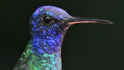 Hummingbirds II