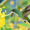 Hummingbirds need flowers, and hundreds are suitable, from a Caesalpinia for this Plain-bellied Emerald in Guyana by participant Brian Stech...