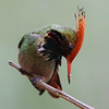 The pint-sized coquettes have perhaps the best headgear of all -- check out this Rufous-crested Coquette from Peru's Magnetic North by participant Tim Skillin...