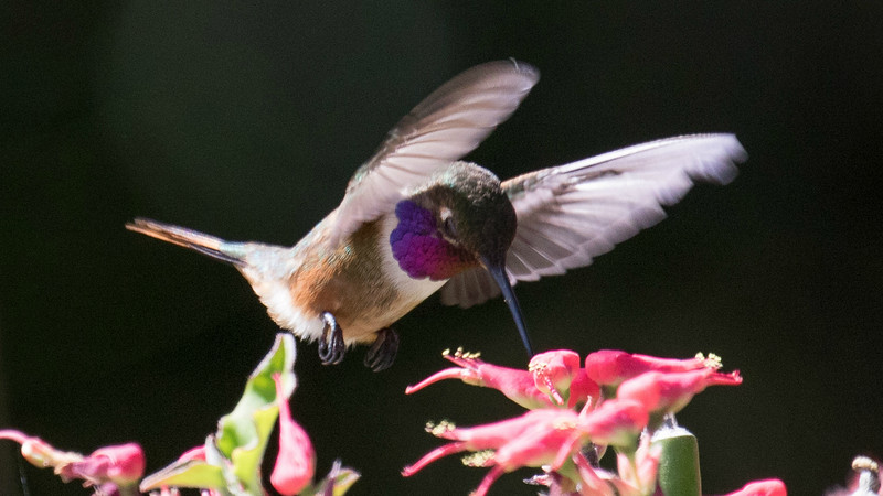 Some hummers are not only small but have tiny ranges, such as this Bahama Woodstar by participant Doug Hanna...