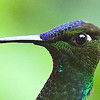 Other head features? Quite a few species show eyespots, as on this Violet-fronted Brilliant from Ecuador by guide Willy Perez...