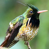 ...or this Black-crested Coquette from Costa Rica by participant Bill Byers...