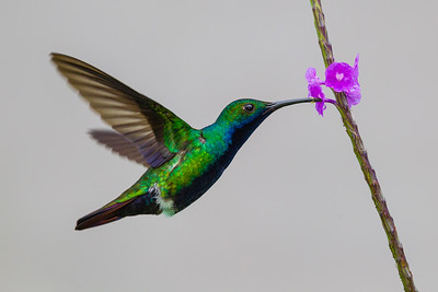 Or if not Costa Rica, then many of our tour-takers get their tropical feet wet in Trinidad & Tobago, a great first getaway and gateway for American tropical birds -- and home to 18 species of hummingbird, including this Black-throated Mango, the male perfectly photographed by Tony Quezon.