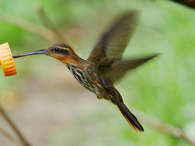 On the Spectacular Southeast Brazil tour (Part 1), participants David and Judy Smith struck gold with this image of a Saw-billed Hermit, whose bill is not just flattened but also has a hooked tip and fine serrations, which give the bird its name. The purpose of this unique bill structure is not known.