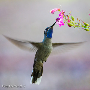 Perhaps that first backyard hummingbird then led you to visit southeastern Arizona, seeking out some of the specialties there, like this male Blue-throated Hummingbird. Photograph by Herb Fechter, Arizona: Birding the Border tour.