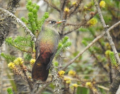 Unlike crests and outlandish tails, hummingbirds' bills are anything but adornments: their shapes tell us much about how each species feeds. Thornbills, like this Bronze-tailed, feed on tiny high-elevation flowers and also use their short, sharp bills to puncture flower bases, to extract nectar from flowers too deep to probe.This photograph was taken by guide Jesse Fagan at Chingaza on the Colombia: Bogotá, the Magdalena Valley, and Santa Marta tour.