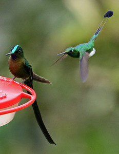 Charlotte Byers, on the Jewels of Ecuador tour (50+ hummingbirds species), also photographed this male Booted Racket-tail photobombing a male Violet-tailed Sylph, the species of sylph found to the west of Long-tailed.
