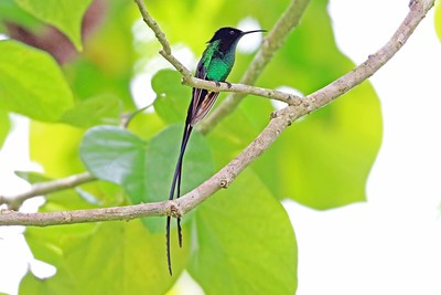 Endowed with an equal streamer but less well known than the widespread Red-billed Streamertail, its close relative Black-billed Streamertail is found only in the northeastern corner of Jamaica, where Greg Griffith photographed it on the Jamaica tour. Recent research supports recognition of Black-billed as a full species.