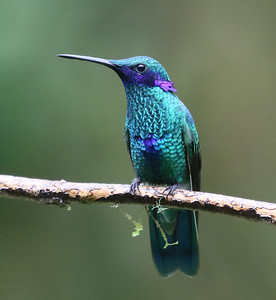 Many hummingbirds are named for the males' adornments, a product of the wondrous engine of speciation and sexual selection that the Andes and Amazonia fuel. Here a Sparkling Violetear, with distendable auriculars, by Bill Byers on the Ecuador's Wildsumaco Lodge tour.