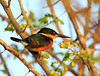 It is easy to look right past the surprisingly tiny American Pygmy Kingfisher.  (Photo by guide Jesse Fagan)