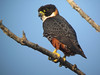 ...like the very rare Orange-breasted Falcon! (Photo by guide Peter Burke)