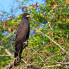 Highly specialized (as their name implies), Snail Kites breed at Crooked Tree. (Photo by guide Jesse Fagan)