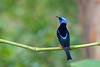 It fairly glows: a male Red-legged Honeycreeper! (Photo by participants David & Susan Disher)