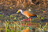 It is tough to top the hot pink legs of a Gray-necked Wood-Rail! (Photo by participants David & Susan Disher)