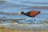 The Northern Jacana's ridiculously long toes and fondness for foraging on lily pads helped earn it the local name of Jesus Christ Bird. (Photo by participants David & Susan Disher)