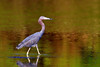 Little Blue Heron  (Photo by guide Jesse Fagan)