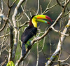Fruit Loops anyone? Keel-billed Toucans are always a crowd-pleaser. (Photo by participants David & Susan Disher)