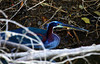 The Agami Heron has an exceptionally long bill which makes for a distinctive profile.  (Photo by guide Jesse Fagan)