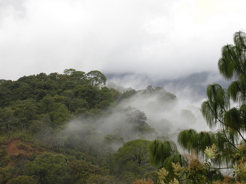 """Higher up in elevation in Colima, oaks and conifers predominate and in the early morning cloud cover often moistens the leaves and drips to the ground. This is a moister, cooler, and rather birdy habitat where the familiar such as a White-breasted Nuthatch may intersect with the unfamiliar like a Chestnut-sided Shrike-Vireo. <div id=""""caption_tourlink"""" align=""""right""""> [photo © guide Chris Benesh]</div>"""