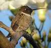 "Throughout this tour we encounter wintering birds from farther north. Here a Black-chinned Hummingbird drinks in the Mexican warmth and abundant flowers. There are several specialty hummingbirds we search for on this tour, foremost among them the tiny Bumblebee Hummingbird. <div id=""caption_tourlink"" align=""right""> [photo © guide Chris Benesh]</div>"
