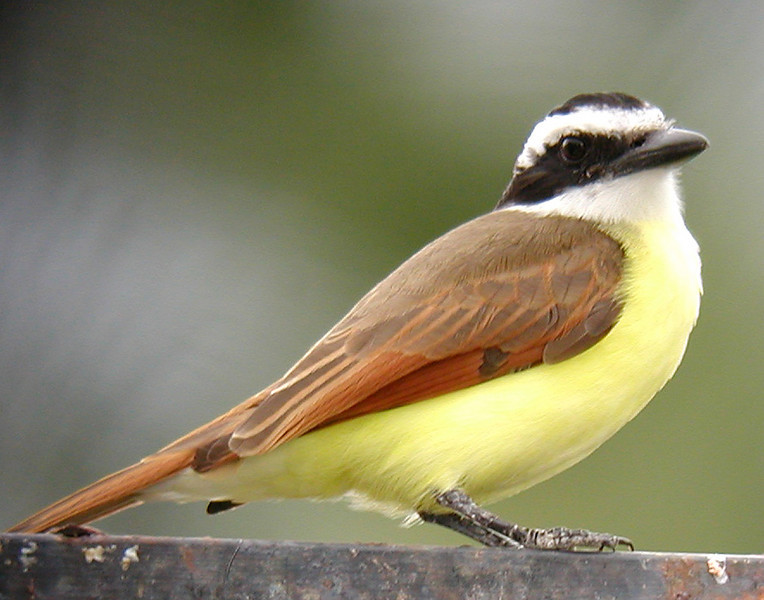 "To a great many birders the widespread Great Kiskadee has deep significance. It is emblematic of the birds to be found ""south of the border"" and reliably observed in the US only in the lower Rio Grande Valley, but common from Mexico to Argentina. To many of us, hearing the kiskadee is a sure sign you are birding the Neotropics....and how sweet it can be! <div id=""caption_tourlink"" align=""right""> [photo © guide Chris Benesh]</div>"