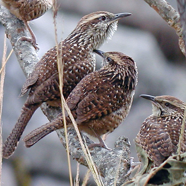 "As mentioned earlier, Mexico is the land of wrens. These are not the little dull brown House Wren types, but rather the larger and much more colorful (in song, behavior, and appearance) tropical group of wrens. The birds above are Spotted Wrens, which are communal breeders and highly social. They are closely related to the Cactus Wren of the Southwest US. <div id=""caption_tourlink"" align=""right""> [photo © guide Chris Benesh]</div>"