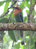 We should see our first motmots, too, like the Broad-billed Motmot pictured here. (Photo by guide Megan Edwards Crewe)