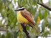 """Another of the common and easily seen birds at the hotel (and just about daily on the tour!) is the noisy Great Kiskadee. Their piercing """"Kisk-a-dee"""" calls might even serve as your early morning wake-up call! (Photo by guide Megan Edwards Crewe)"""