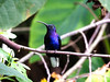On the opposite end of the spectrum, the showy Violet Sabrewing is positively huge, as hummingbirds go, anyway. (Photo by participant Marshall Dahl)