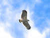 On sunny days, the area is also very good for raptors, including the gorgeous White Hawk. (Photo by participant Marshall Dahl)