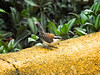 ...and the delightful Rufous-naped Wren, a close relative of the Cactus Wren... (Photo by participant Marshall Dahl)
