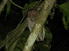 ...perhaps an owl or two. This Vermiculated Screech-Owl surprised us all by landing right next to the group, calling from this perch just a few feet away from us! (Photo by guide Jay VanderGaast)