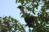 Fruiting fig trees are always magnets for frugivorous birds, and this one at La Selva was no exception.  Here, a Crested Guan examines its options. (Photo by guide Megan Crewe)