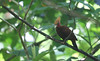 This Chestnut-colored Woodpecker had found an insect-infested tree branch, and he wasn't about to move, despite the close approach of our group.  He continued to pound and probe all along the slim branch he was feeding on, allowing us to get some super views -- and photographs! (Photo by guide Megan Crewe)