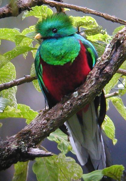 "Resplendent Quetzal <div id=""caption_tourlink"" align=""right""> [photo © guide Jay VanderGaast]</div>"