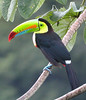 "Keel-billed Toucan <div id=""caption_tourlink"" align=""right""> [photo © guide Jay VanderGaast]</div>"