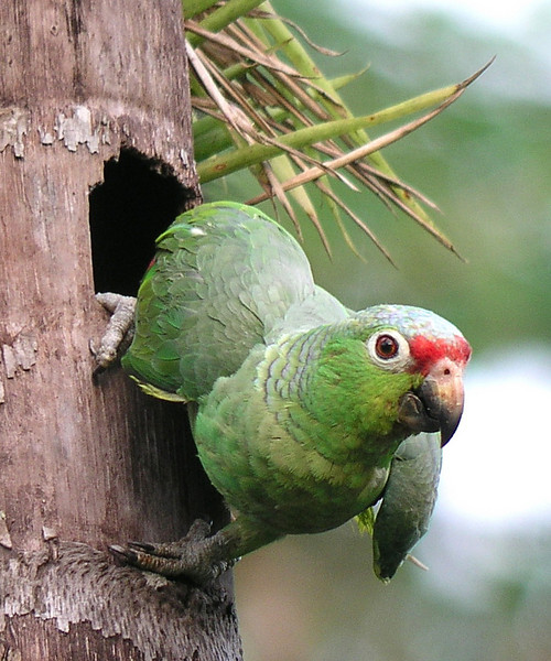 "Red-lored Parrot <div id=""caption_tourlink"" align=""right""> [photo © guide Dave Stejskal]</div>"