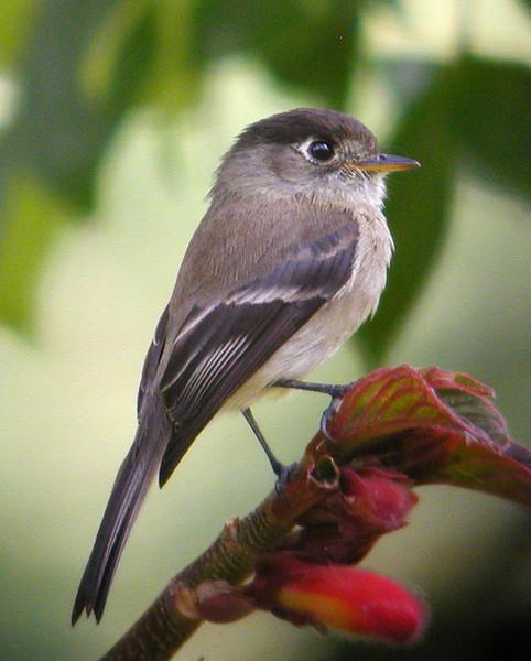 "Black-capped Flycatcher <div id=""caption_tourlink"" align=""right""> [photo © guide Jay VanderGaast]</div>"