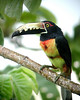 "Collared Aracari <div id=""caption_tourlink"" align=""right""> [photo © guide Jay VanderGaast]</div>"