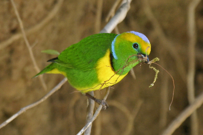 "Golden-browed Chlorophonia <div id=""caption_tourlink"" align=""right""> [photo © participant Ed Kawecki]</div>"