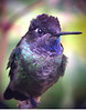 "Magnificent Hummingbird <div id=""caption_tourlink"" align=""right""> [photo © guide Rose Ann Rowlett]</div>"