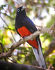 "Baird's Trogon <div id=""caption_tourlink"" align=""right""> [photo © guide Jay VanderGaast]</div>"
