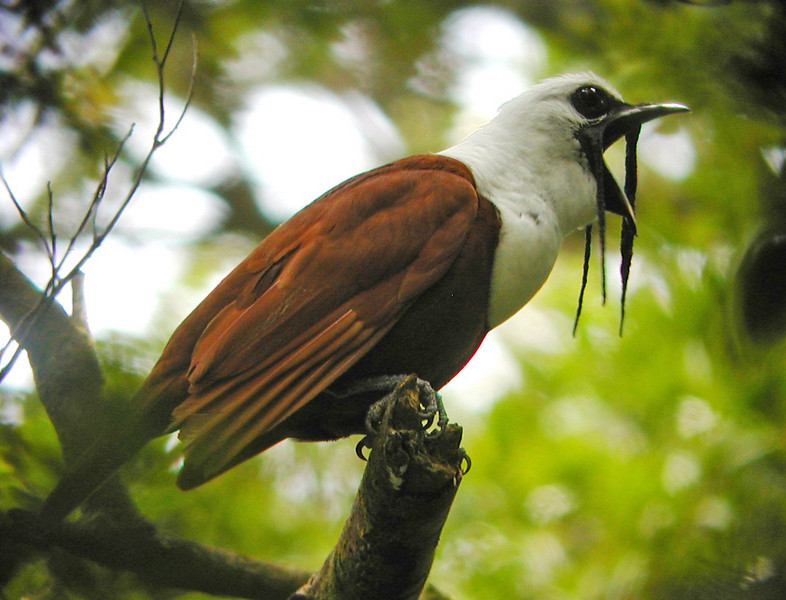 "Three-wattled Bellbird <div id=""caption_tourlink"" align=""right""> [photo © guide Jay VanderGaast]</div>"