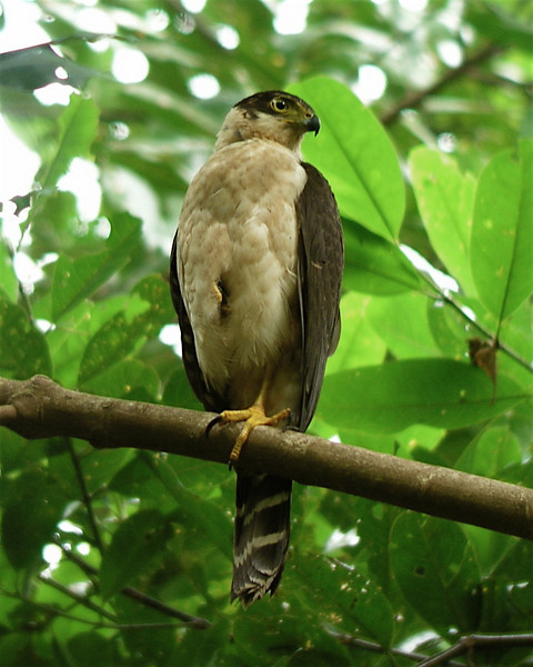 "Bicolored Hawk <div id=""caption_tourlink"" align=""right""> [photo © guide Dave Stejskal]</div>"