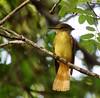 Northern Royal Flycatcher at Tikal (Photo by guide Jesse Fagan)
