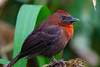 Red-throated Ant-Tanager (Habia fuscicauda)