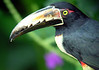 "Collared Aracari <div id=""caption_tourlink"" align=""right""> [photo © participant Carol Fitzpatrick]</div>"