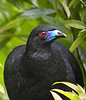 "Black Guan <div id=""caption_tourlink"" align=""right""> [photo © guide Jay VanderGaast]</div>"